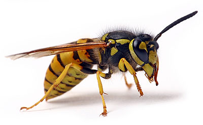 paper-wasp-md